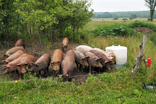 Pig pen area at Winters Grass Farm